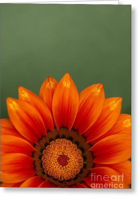 Gazania Rising Greeting Card by Anne Gilbert