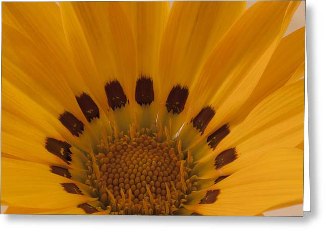 Gazania Stamen Macro Greeting Card
