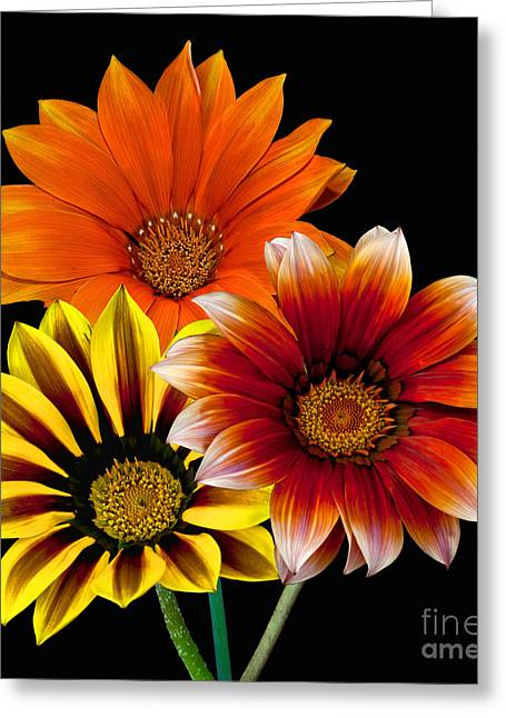 Greeting Card featuring the photograph Gazania Variety by Shirley Mangini