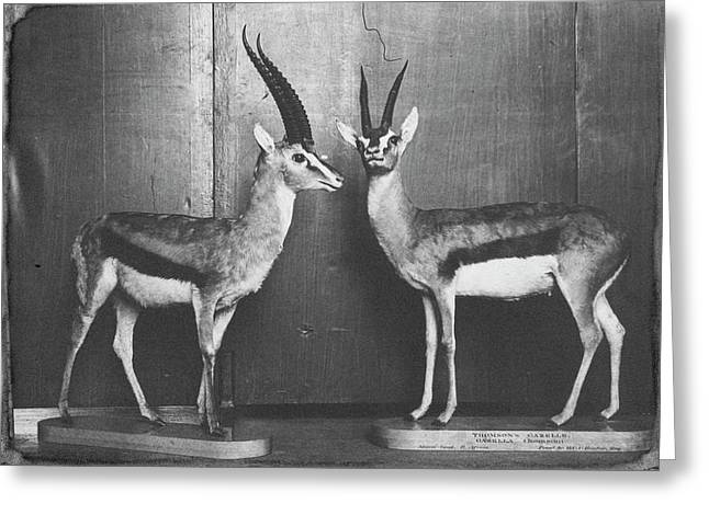 Gazelles In Lower Mammal Gallery Greeting Card by Natural History Museum, London