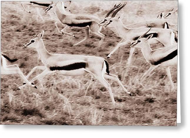 Gazelles Running Greeting Card