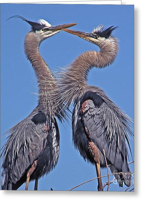 Great Blue Heron The Face Off Greeting Card