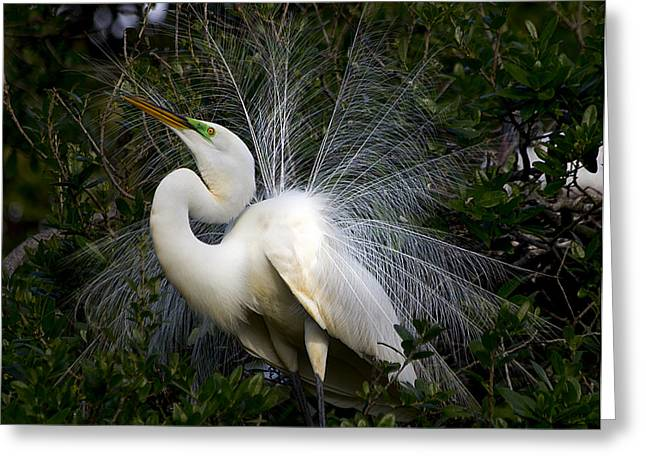 Geat Egret Mating Dance II Greeting Card