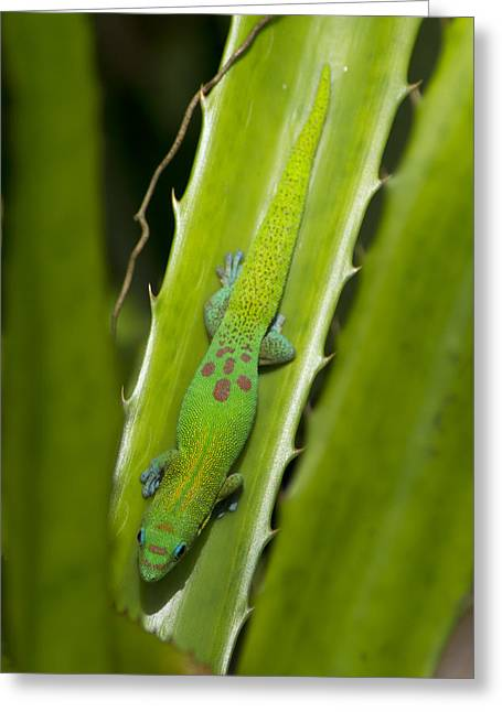 Gecko Greeting Card by Mike Herdering