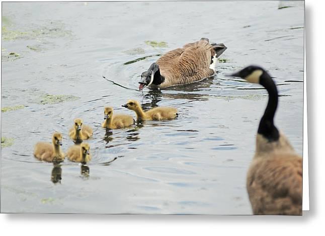 Geese Family Greeting Card by John Sarnie