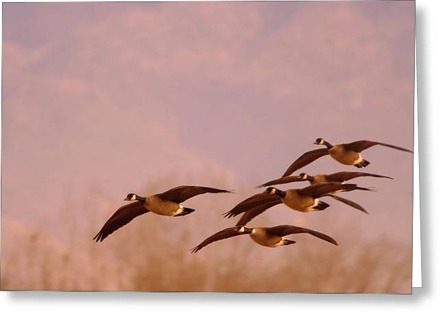 Geese Flying Over Greeting Card by Jeff Swan