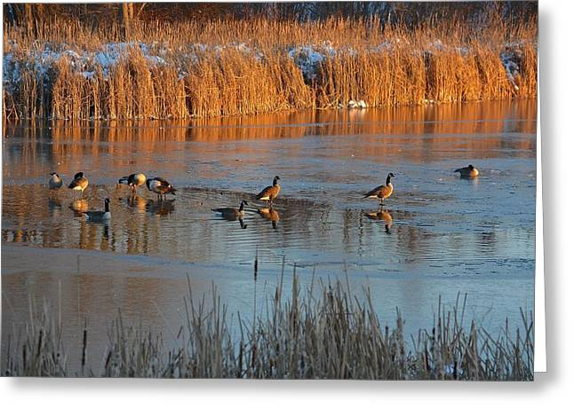 Geese In Wetlands Greeting Card