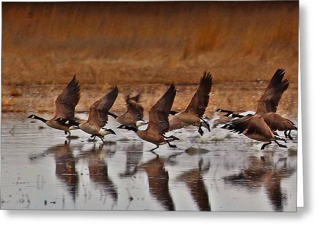 Greeting Card featuring the photograph Geese On The Run by Lynn Hopwood