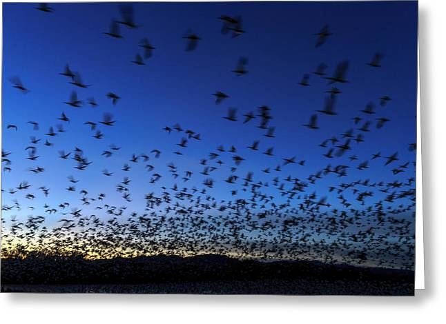 Geese Taking Off After Sunset, Bosque Greeting Card by Maresa Pryor