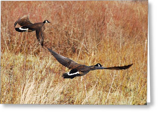 Greeting Card featuring the photograph Geese - Taking Off In Flight by Janice Adomeit