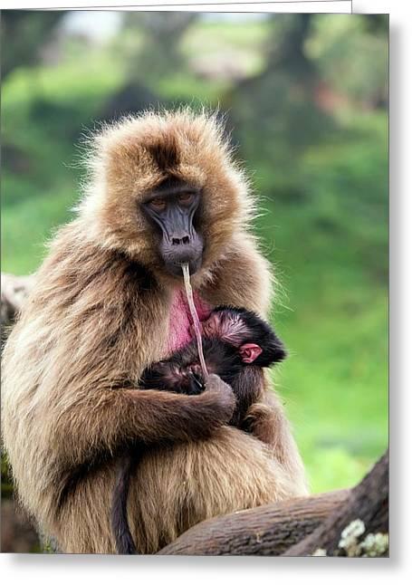 Gelada Baboon Eating Her Placenta Greeting Card