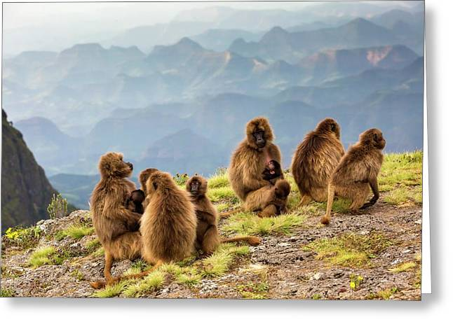 Gelada Baboon Family On A Cliff Edge Greeting Card