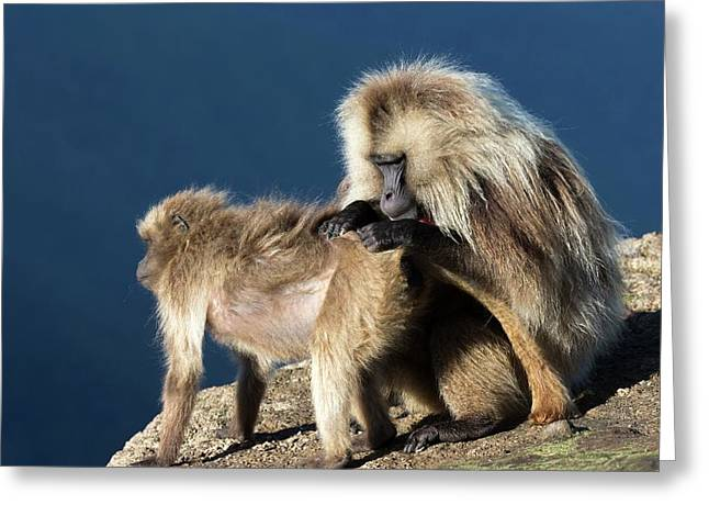 Gelada Baboons Grooming Greeting Card by Peter J. Raymond