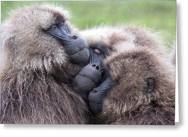 Gelada Baboons Huddled To Conserve Heat Greeting Card