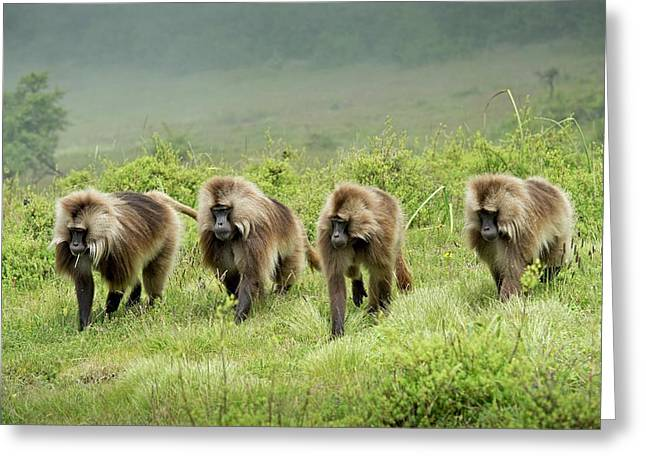 Gelada Batchelor Group Patrolling Greeting Card