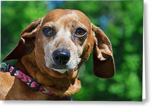 Gem The Miniature Dachshund Greeting Card by Lisa Phillips