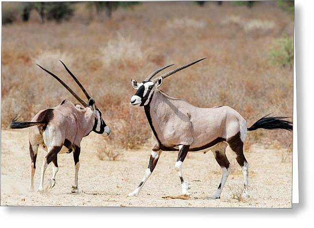 Gemsbok Male And Female Greeting Card by Peter Chadwick