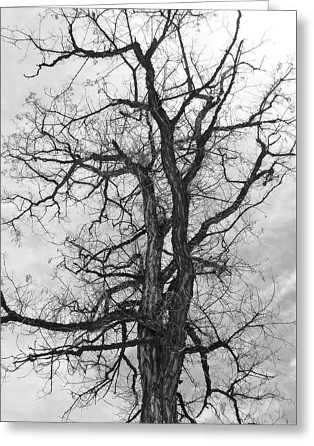 Genoa Tree Greeting Card