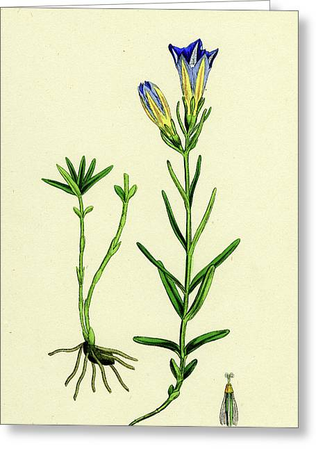 Gentiana Pneumonanthe Calathian Violet Greeting Card