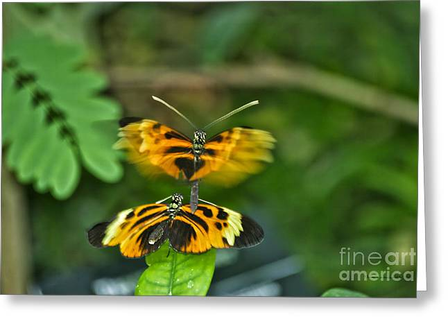 Greeting Card featuring the photograph Gentle Butterfly Courtship 03 by Thomas Woolworth