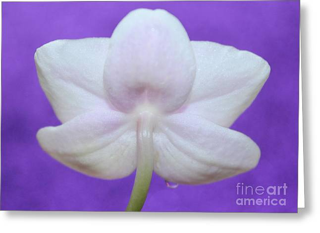 Gentle Orchid Greeting Card by Krissy Katsimbras