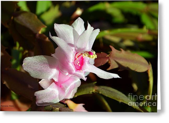 Gentle Pink Greeting Card by Ramona Matei