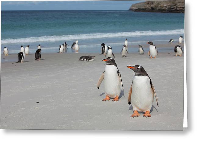 Gentoo And Magellanic Penguins Loaf Greeting Card