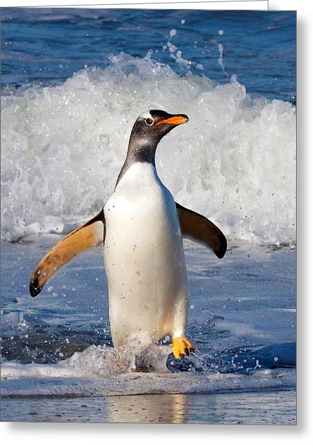 Gentoo Ashore Greeting Card
