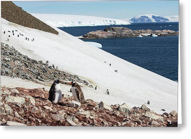 Gentoo Penguin Greeting Card by Ashley Cooper