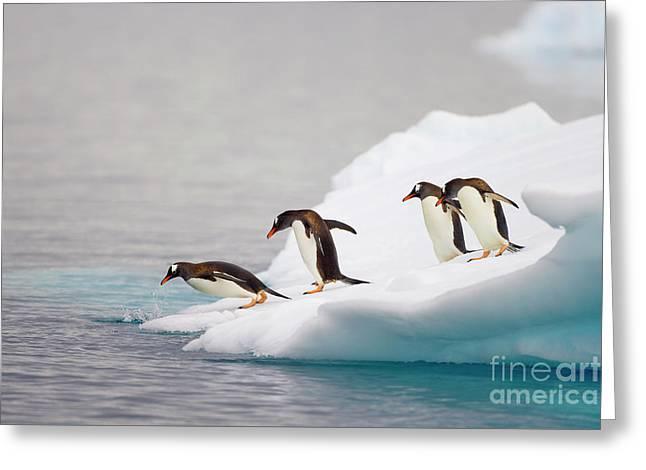 Gentoo Penguin Diving From Iceberg Greeting Card by Yva Momatiuk and John Eastcott