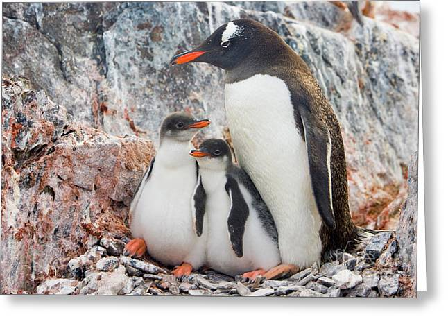 Gentoo Penguin Family Booth Isl Greeting Card by Yva Momatiuk and John Eastcott
