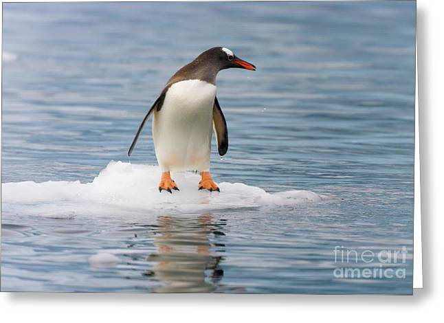 Gentoo Penguin On Ice Floe Antarctica Greeting Card by Yva Momatiuk John Eastcott