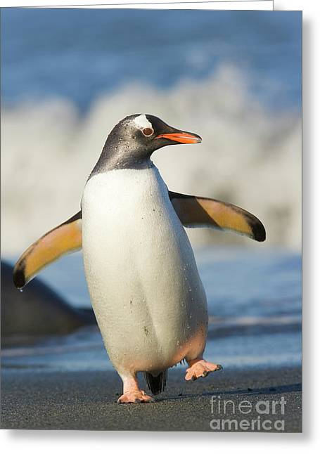 Gentoo Penguin Waddling Cooper Bay Greeting Card by Yva Momatiuk and John Eastcott
