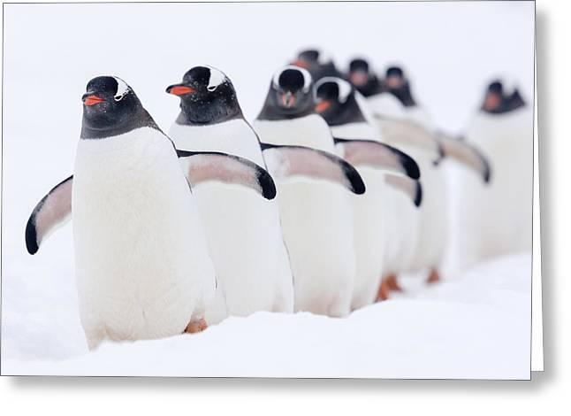 Gentoo Penguins In Line Cuverville Greeting Card