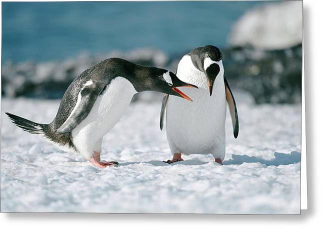 Gentoo Penguins Interacting Greeting Card by Dr P. Marazzi