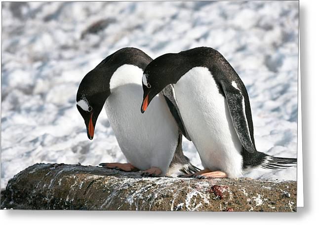 Gentoo Penguins Pair Bonding Greeting Card