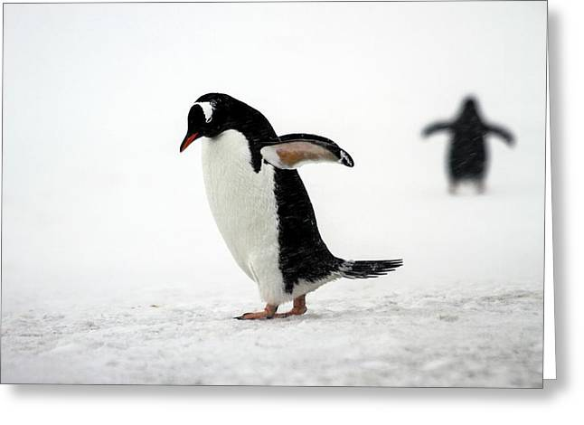 Gentoo Penguins (pygoscelis Papua) Greeting Card by Photostock-israel