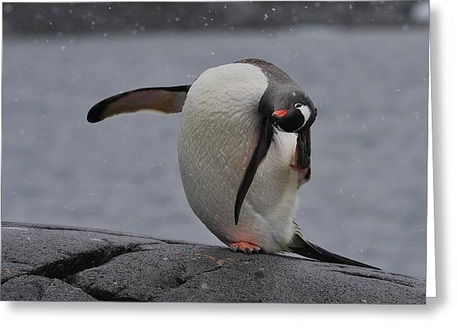 Gentoo Yoga Greeting Card by Tony Beck