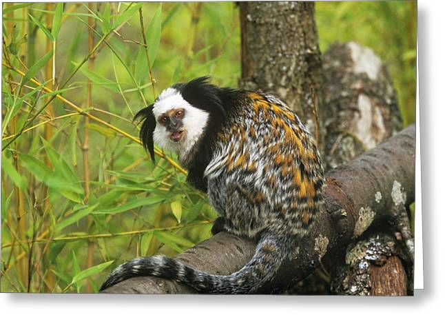 Geoffroys Marmoset Greeting Card