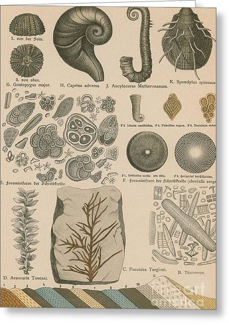 Geology And Paleontology 1886 Greeting Card by Science Source