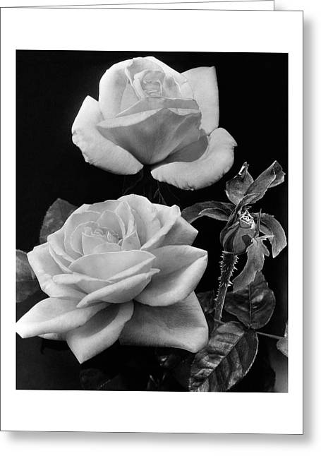 'george Arends' Roses Greeting Card