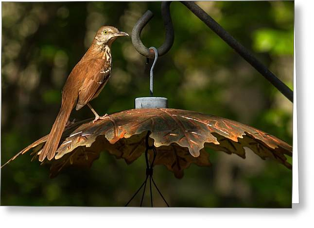 Greeting Card featuring the photograph Georgia State Bird - Brown Thrasher by Robert L Jackson