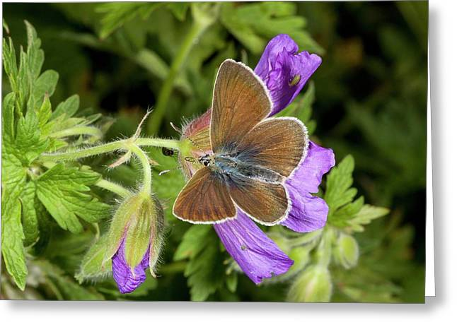 Geranium Argus Butterfly On Cranesbill Greeting Card by Bob Gibbons