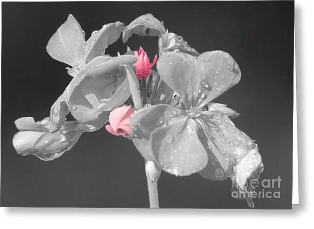 Geranium Greeting Card by Cindy Manero