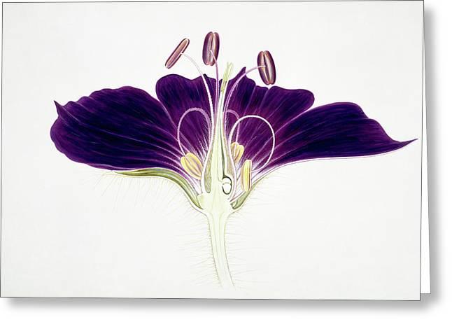 Geranium Phaeum Flower Greeting Card by Natural History Museum, London