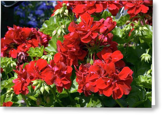 Geranium 'precision Dark Red' Greeting Card