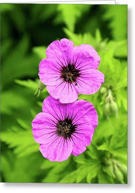 Geranium Psilostemon Flowers Greeting Card by Adrian Thomas