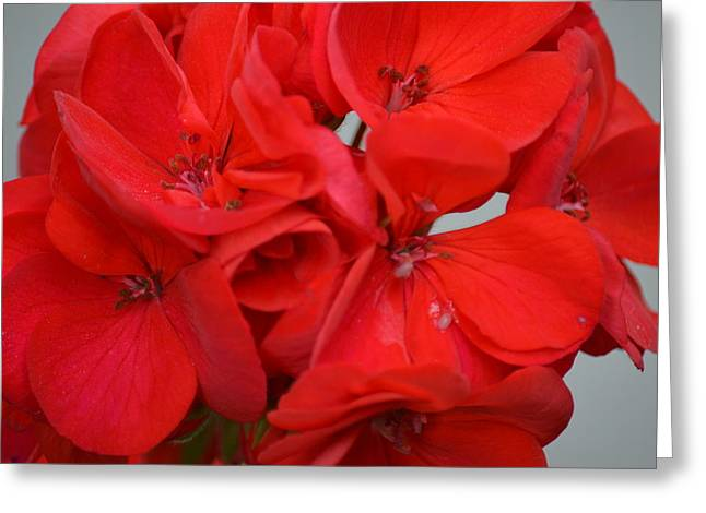 Geranium Red Greeting Card
