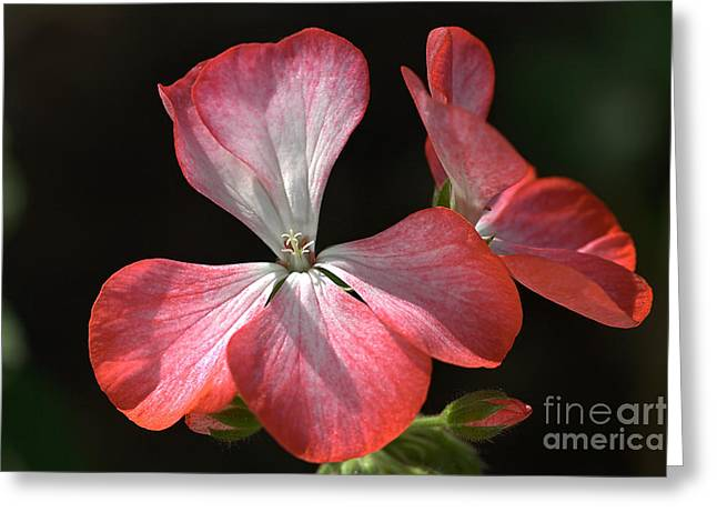 Geraniums In The Sun Greeting Card by Joy Watson