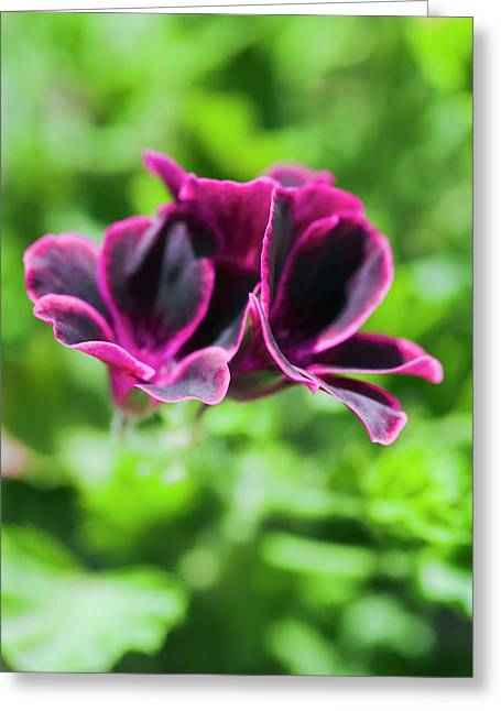 Geraniums (pelargonium Sp.) Greeting Card by Gustoimages/science Photo Library